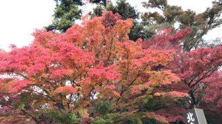北鎌倉の円覚寺の紅葉の見頃はピーク過ぎたかも