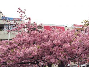 三浦海岸桜まつり 河津桜 見頃 駅前2