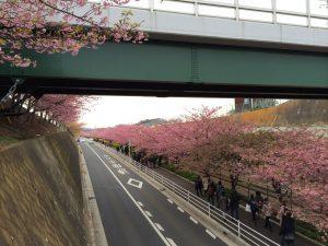 三浦海岸桜まつり 京急沿線