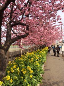 三浦海岸桜まつり 河津桜 見頃 京急沿い