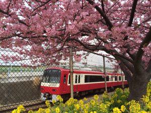 三浦海岸桜まつり 河津桜 京急 先頭車両