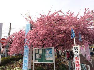 三浦海岸桜まつり 河津桜 見頃 駅前1