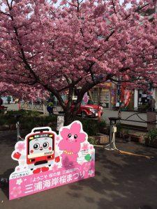 三浦海岸桜まつり 河津桜 見頃 看板