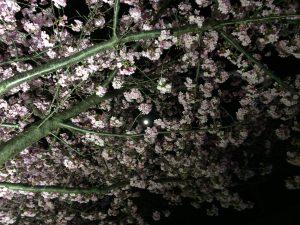 三浦海岸桜まつり ライトアップ1