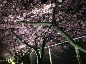 三浦海岸桜まつり ライトアップ2