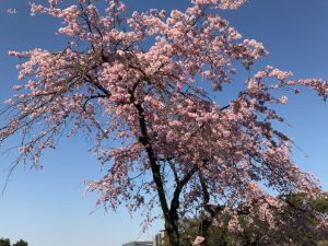 乾通り一般公開 桜